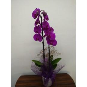 Vip Çift Dallı Mor Orkide
