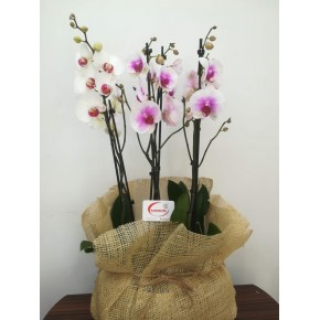 VİP 6 Dallı Renkli Orkideler